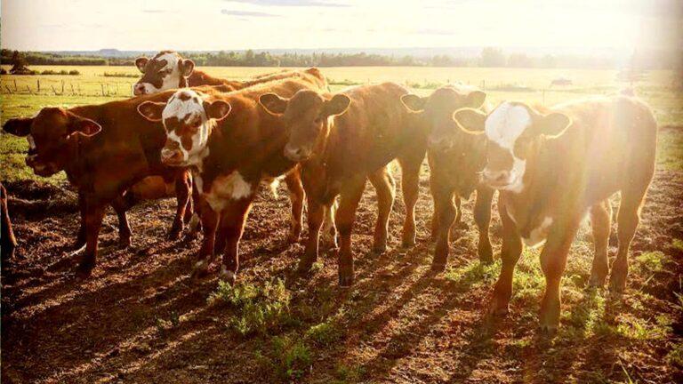 BSF cows2 768x432