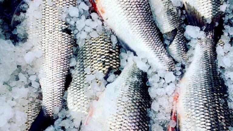 EATF whitefish 768x432