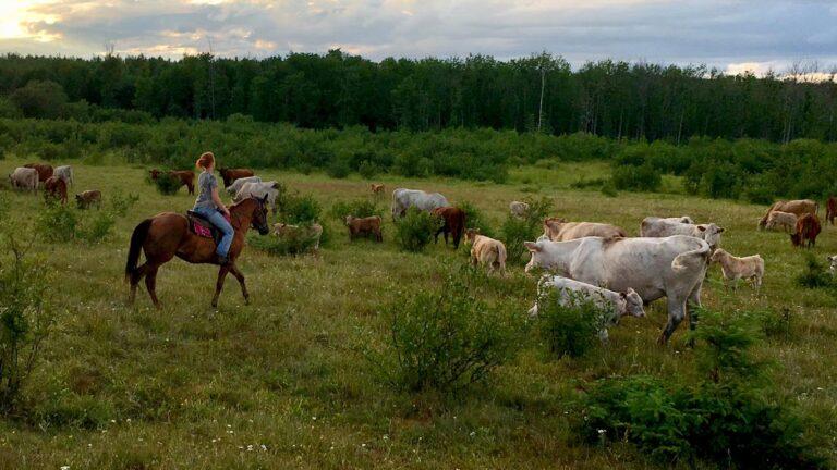 MCH herding 768x432