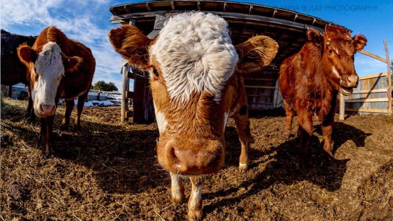 MRF cows 768x432