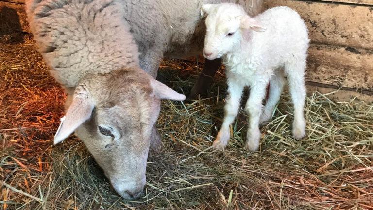 NWF sheep 768x432