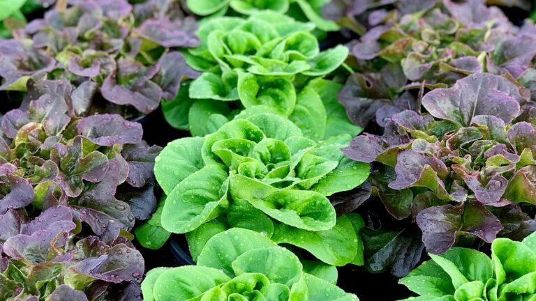 VMG lettuces 768x432